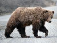 Bear jangli janwar