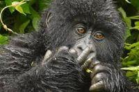 Chimpanzee wild animal