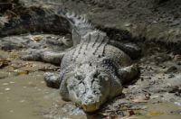 Crocodile jangli janwar