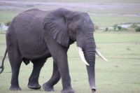 Elephant jangli janwar