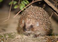 Hedgehog a wild animal