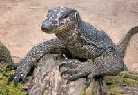lizard forest animal