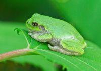 frog jangli janwar