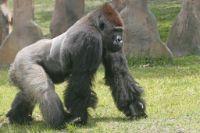 gorilla jangli janwar