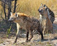 Hyena wild animal