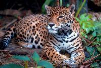 jaguar jangli janwar