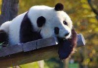 panda jangli janwar