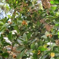 Karaka - Corynocarpus laevigatus