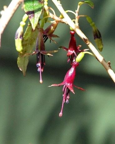481px-Fuchsia_excorticata_(1)