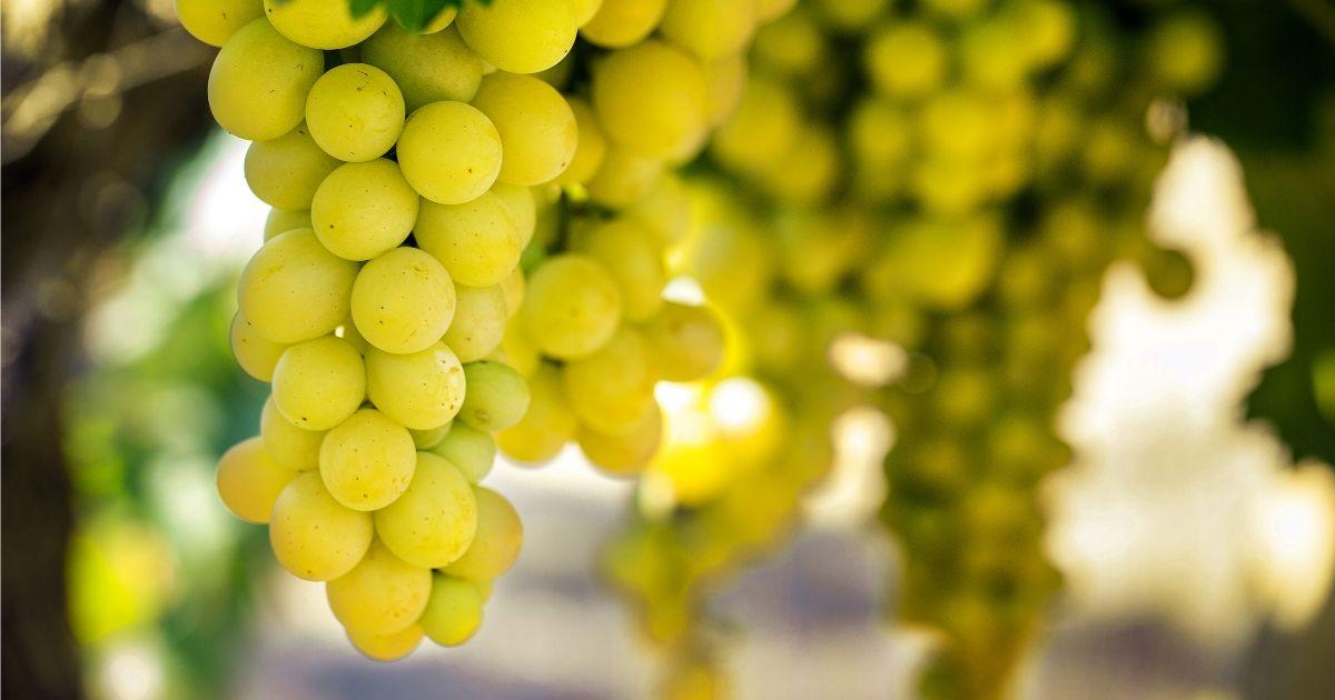 Pujalet Cotes de Gascogne white grapes
