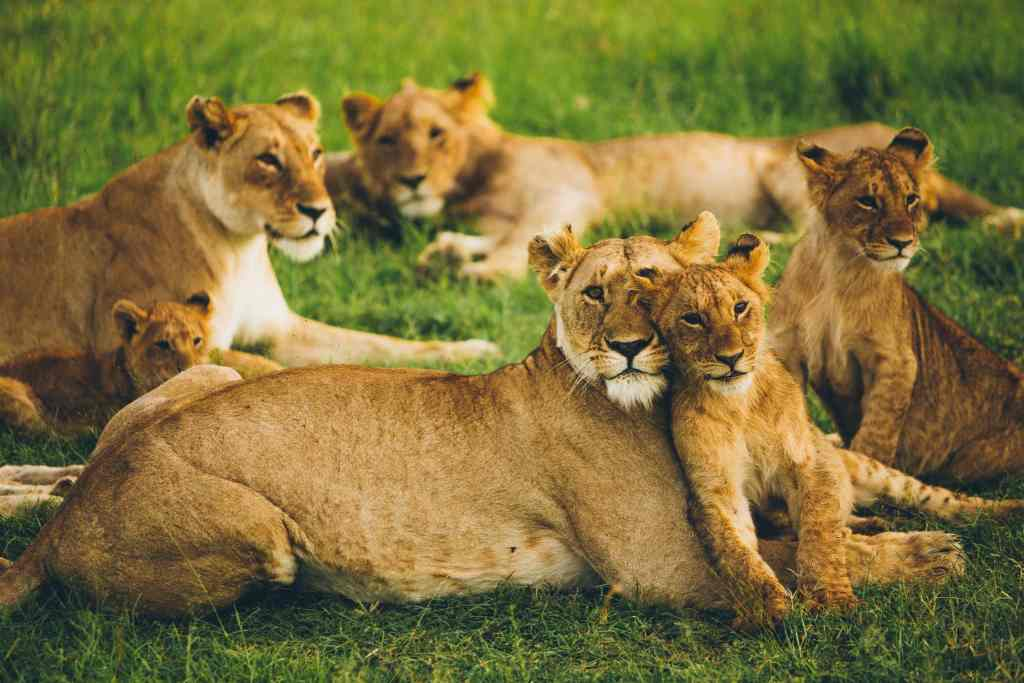 lions laying in the grass