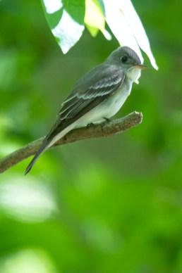 Acadian Flycatcher. Photo by Alan Wells.