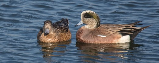 American Wigeon. Photo by Alan Wells.