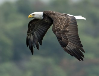 Bald Eagle. Photo by Dave Baker.