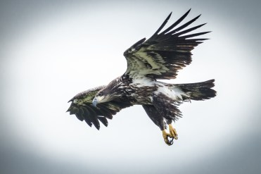 Juvenile Bald Eagle. Photo by Dave Baker.