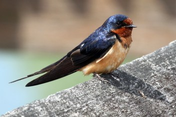 Barn Swallow. Photo by Alan Wells.