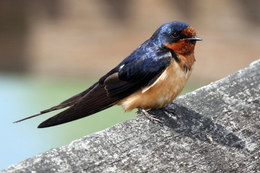 Barn Swallow. Photo by Alan Wells.