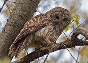 Barred Owl. Photo by Lee Hunter.