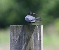 Black Tern. Photo by Karen Miller.