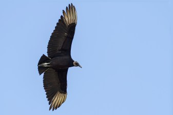 Black Vulture. Photo by Alan Wells.