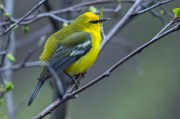 Blue-winged Warbler. Photo by Dave Baker.