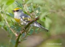 """""""Brewster's"""" Warbler. Photo by Ken Kijewski."""