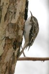 """Brown Creeper. Photo by Alan Wells. """"It alights at the base of a tree and begins to ascend in a spiral;...it advances till the trunk and principal branches have been explored, when, having reached the top, it spreads its wings and with a pretty, sweeping movement, attaches itself to the extreme base of another tree, when the same performance is repeated."""" —EA Mearns"""
