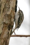 "Brown Creeper. Photo by Alan Wells. ""It alights at the base of a tree and begins to ascend in a spiral;...it advances till the trunk and principal branches have been explored, when, having reached the top, it spreads its wings and with a pretty, sweeping movement, attaches itself to the extreme base of another tree, when the same performance is repeated."" —EA Mearns"