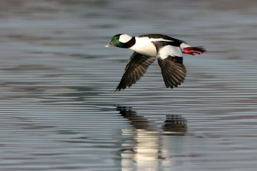 Bufflehead. Photo by Alan Wells.