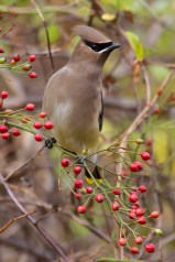 Cedar Waxwing. Photo by Alan Wells.