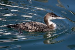 Common Loon. Photo by Alan Wells.