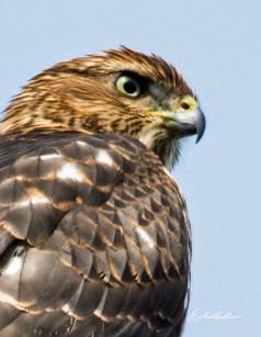 Cooper's Hawk, Skinner's Lane. Photo by Dave Baker.