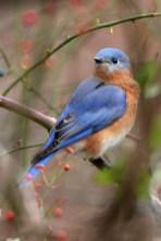 Eastern Bluebird. Photo by Alan Wells.