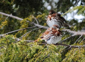 "Fox Sparrows. Photo by Carlotta Shearson. ""Its notes are full and rich; and when singing, it is apt to be perched on a tree-top, although it frequently sings in a brush-heap."" —EA Mearns"