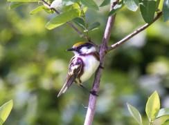 Chestnut-sided Warbler. Photo by Bill Fiero.