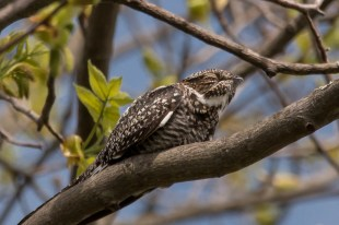 Common Nighthawk. Photo by Bill Fiero.