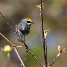 Golden-winged Warbler. Photo by Alan Wells.