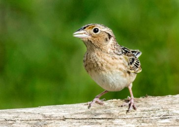 Grasshopper Sparrow, Shawangunk Grasslands. Photo by Dave Baker.