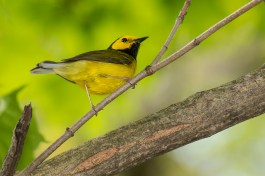"""Hooded Warbler. Photo by Alan Wells. """"The Hooded Warbler is...a very attractive species, both on account of its brilliant plumage and its delicious song."""" —E.A Mearns"""