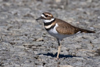 Killdeer. Photo by Alan Wells.
