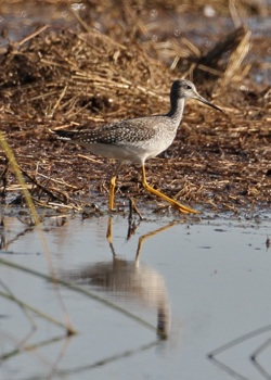 Lesser Yellowlegs. Photo by Lee Hunter.