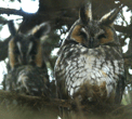 Long-Eared Owls. Photo by Jeff Goulding.