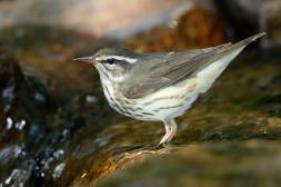 Louisiana Waterthrush. Photo by Alan Wells.