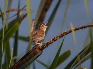 Marsh Wren. Photo by Bill Fiero.