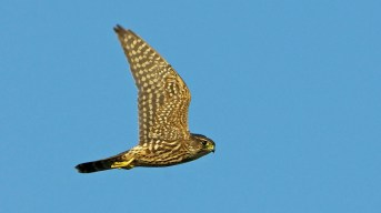 Merlin. Photo by Dave Baker.