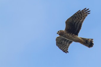 Northern Harrier. Photo by Alan Wells.