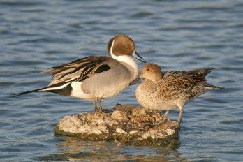 Pair of Northern Pintails. Photo by Alan Wells.