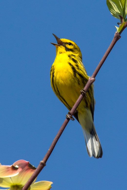 Prairie Warbler. Photo by Alan Wells.