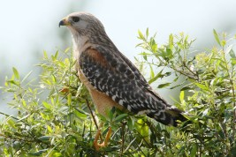 Red-shouldered Hawk. Photo by Alan Wells.