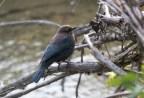 Rusty Blackbird. Photo by Bill Fiero.